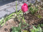The Beauty of a Pink Tulip by Sky-Riot
