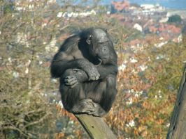 Chimpanzee by Birchall96