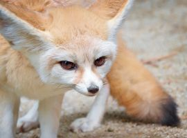 Fennec Fox by DeniseSoden