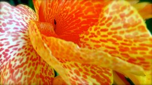 Canna flower by GrangerDanger44