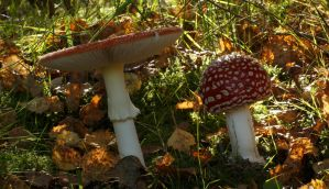 Amanita Muscaria in Autumn Setting 2 by Danimatie