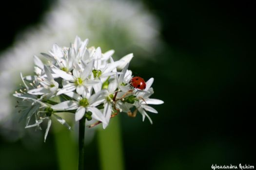 Yet Another Ladybug Pic by nemesis-fk