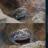 Frog or Toad by kuschelirmel-stock