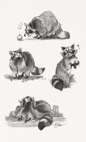 Raccoon Study Sketch Page by dodgyrommer