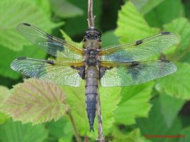 Four-spotted Chaser (mature male) by Terrydunk