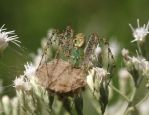 Green Lynx Spider 20D0034319 by Cristian-M
