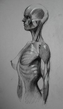 Female Torso Musculature Study by yolque