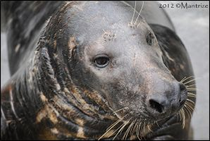 Gray seal by Mantrize