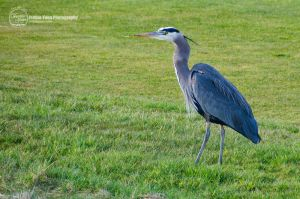 The Great Blue Heron by sweetcivic