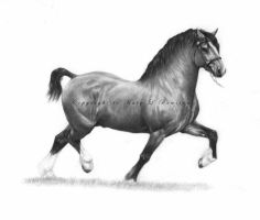 Welsh Cob - Section D by Project-Dream