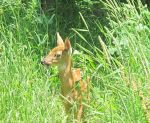A Fawn in Tall Grass 2 by Windthin