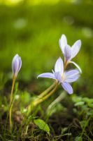 Autumn Crocus by seb-foto
