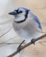 Blue Jay 1 by JohnSlaughter