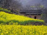 Yellow Flowers and Farmhouse, China by Art-of-Eric-Wayne