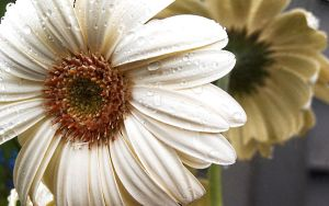 White Daisy wallpaper by AcceptedOutcast