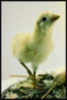 11.12.10 chick no 1 by ALEC22
