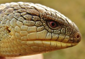 Southern Blotched Blue-Tongue by Illirik
