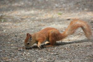 Squirrel 4 by Chance-STOCK