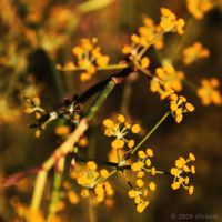 Yellow Bud by chriscol