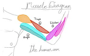 Arm Muscle Diagram by JustALittleBitCooler