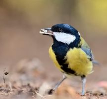 A tit by corsuse