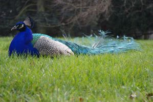Peacock sunning himself by maximusmountain