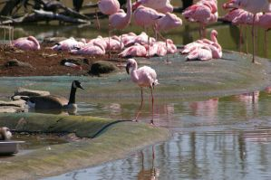 Flamingos III by expression-stock