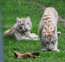 White Tigers Cubs by NicamShilova