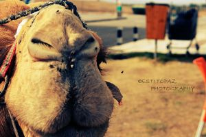 Camel by st277