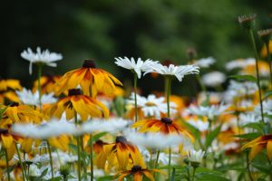 daisys and Coneflowers by polarisman08