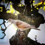 Memories from a Norfolk Hill 1: Turtle Dove by Coigach
