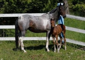 Bay Warmblood Colt 007 by Notorious-Stock