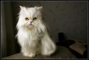 Fluffy, white and ANGRY by Chayan