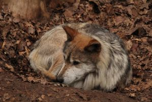 Mexican Wolf by SecretPoet17