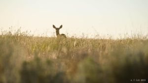 Doe in the Grass by AFL
