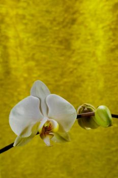 Orchid Bloom 6 by Art-Photo