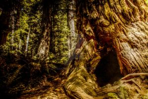 Redwood tree 2 - HDR by Tegatana