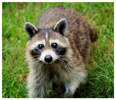 Rocky Raccoon by TheMan268