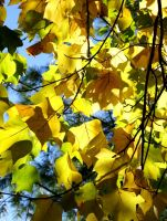Yellow Leaves by MLStock