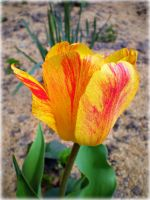 Fire Tulip for Angie by DanaAnderson
