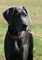 Great Dane by EarudienUndomiel