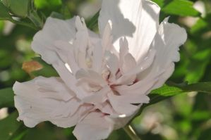 Double blooming Hibiscus Syriacus 5 by xim0nfir3x