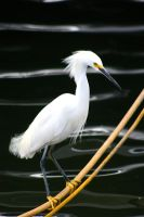 Snowy egret profile by TlCphotography730