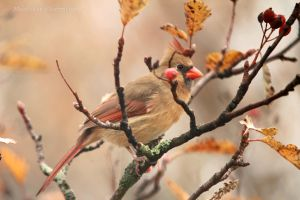 Northern Cardinal - female Nov 8, 11 by Martzart