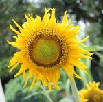 Sunflower...at Penang by toweroak