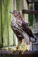 Hangin' with Mr. Cooper's Hawk II by JonShotFirst