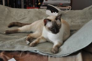 Robriel-Stock - Siamese Cat 5 by Robriel-Stock