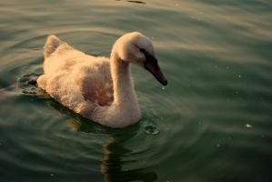 swan. by KajaaL