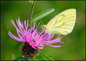 Green Veined White. by andy-j-s