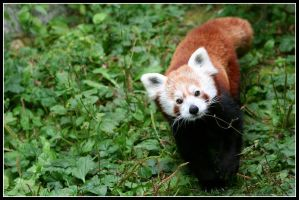 Red panda III by AF--Photography
